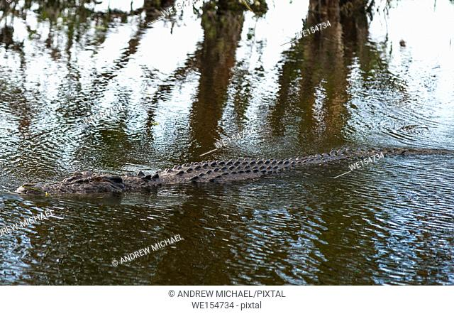Saltwater crocodile in Kakadu, Northern Territory, Australia