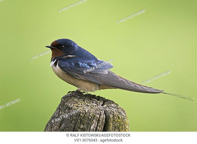 Barn Swallow ( Hirundo rustica ) sits on a wooden fence post in front of a nice clean background of green meadows, wildlife, Europe. .