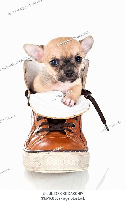 Chihuahua. Puppy in a boot. Studio picture against a white background