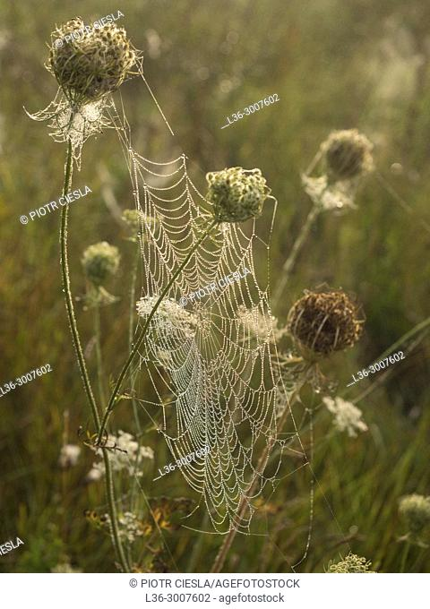 Morning webs in a meadow. Poland