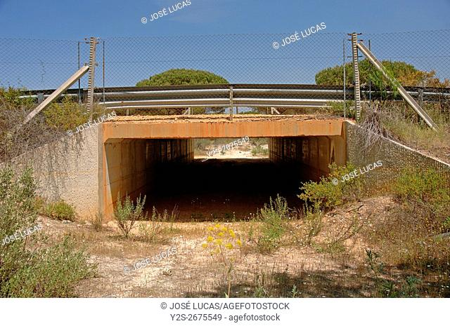 Road underpass for the Iberian Linx (Lynx pardinus), Doñana National Park, Huelva province, Region of Andalusia, Spain, Europe