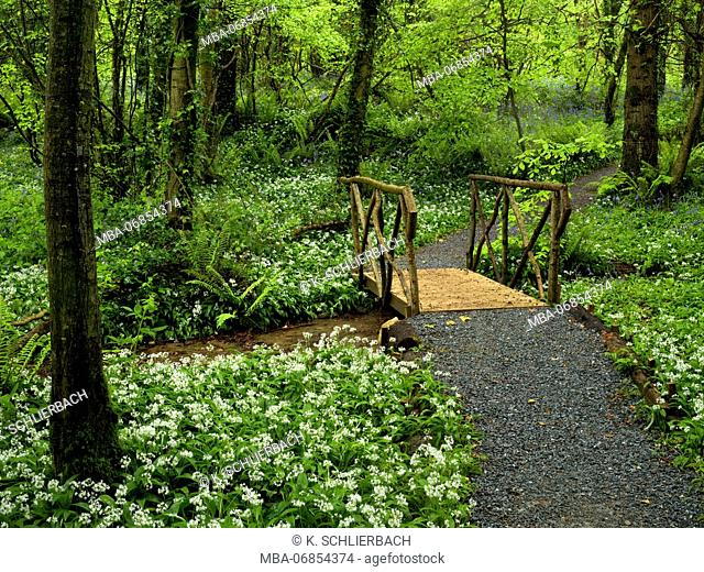Ireland, Wexford county, way with wooden bridge in the coastal primeval forest of the Hook pensinsula, ferns, blossoming wild garlic, beech forest
