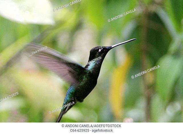 Hummingbird. Cloudy forest. Monteverde Reserve. Costa Rica