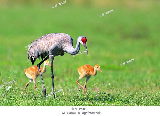 sandhill crane (Grus canadensis), on the feed with two chicks, USA, Florida, Kissimmee
