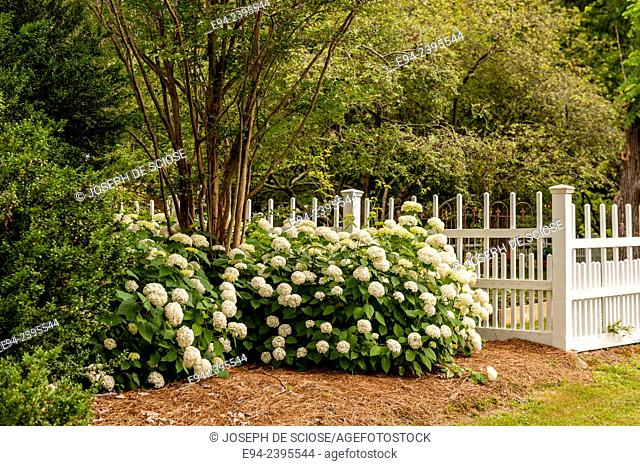 A white picket fence with flowering hydrangeas in a garden.Georgia USA
