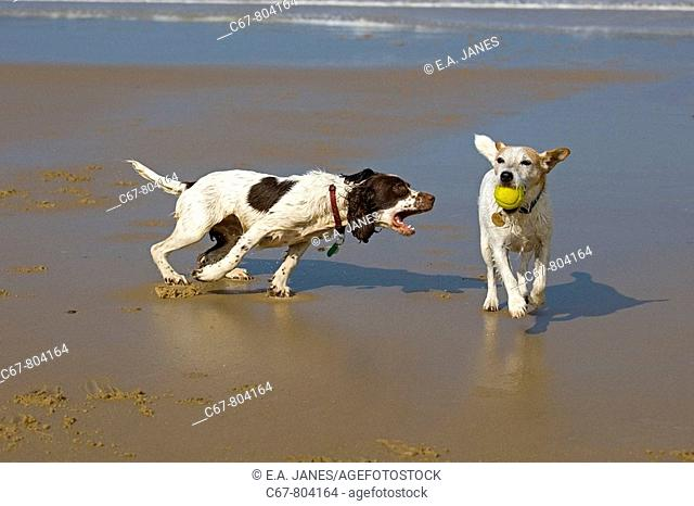 English Springer Spaniel and Jack Russell Terrier running on Beach