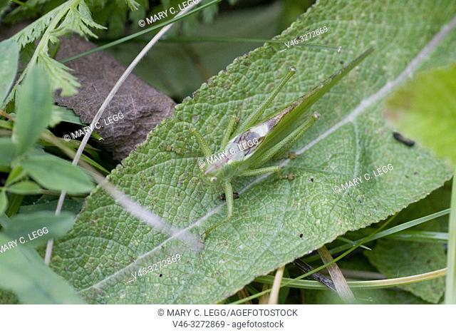 Great Green Bush Cricket, Tettigonia viridissima. Large green katydid. Wings on female grows as long as the ovipositor. Males: 28â