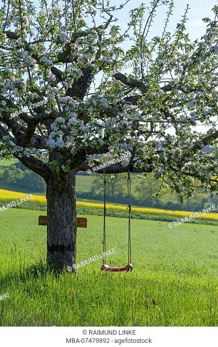 Blooming apple tree with swing in the meadow in spring, Reicholzheim, Wertheim, Taubertal, Tauberfranken, Main-Tauber-district, Baden-Württemberg, Germany
