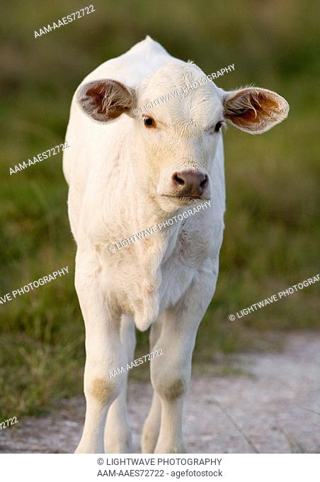 Charolais calf, Coastal Bend, Texas