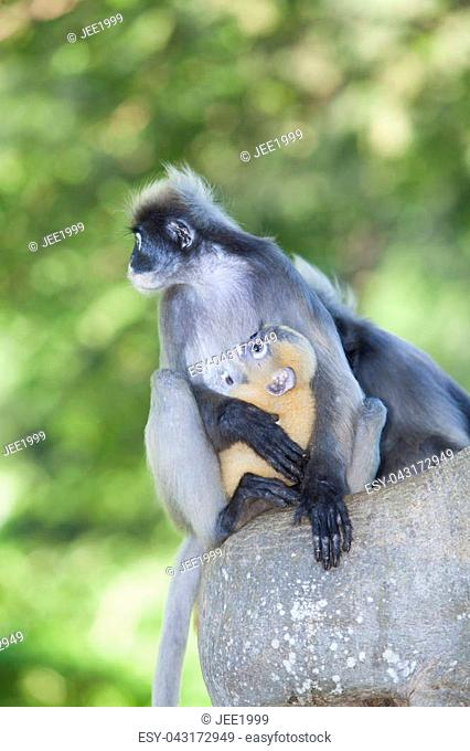 The dusky leaf monkey, spectacled langur, or spectacled leaf monkey (Trachypithecus obscurus),A mother Dusky Leaf monkey and its yellow baby