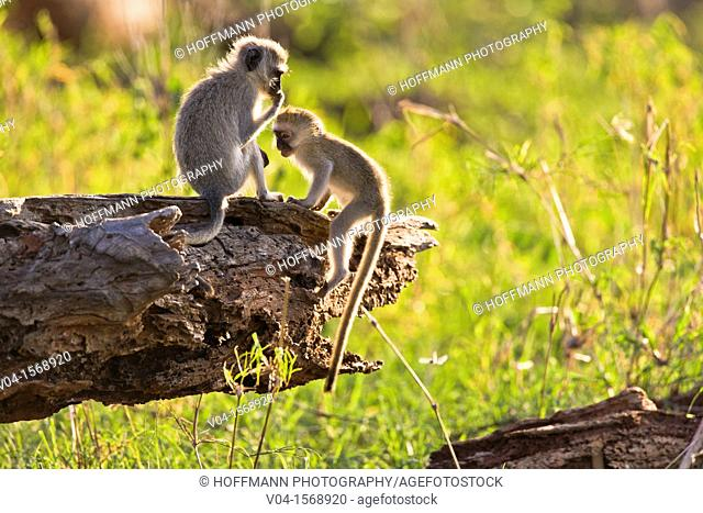 Two vervet monkey (Cercopithecus aethiops) playing on a tree trunk in the Tarangire National Park, Tanzania, Africa