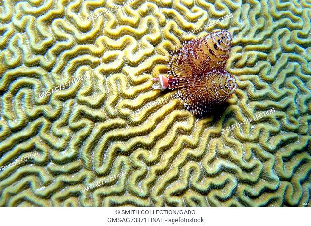 Christmas Tree Worms on the surface of a brain coral, Belize. Image courtesy Christina Kellogg/USGS. June 7, 2009