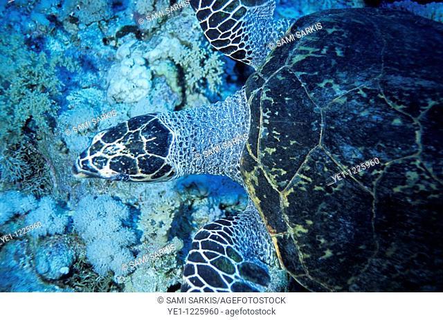 Loggerhead Sea Turtle (Caretta caretta) swimming in a coral garden in the Red Sea, Egypt