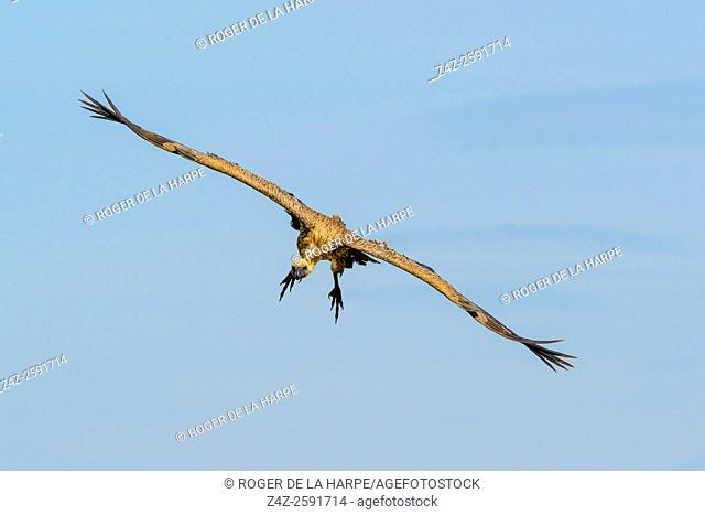 African white-backed vulture or white-backed vulture (Gyps africanus) in flight. . Ngorongoro Conservation Area (NCA). Tanzania