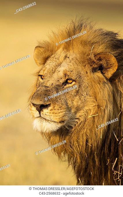 Lion (Panthera leo) - Male. Savuti, Chobe National Park, Botswana