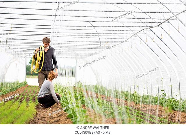 Couple tending to plants in polytunnel