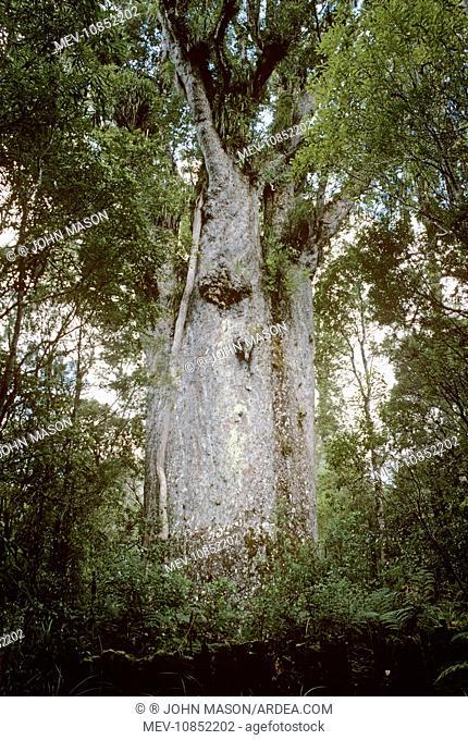 Kauri Tree (Te Matua Ngahere). (Agathis australis). New Zealand