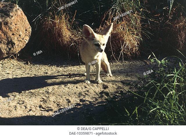 Zoology - Canidae - Desert fox (Vulpus zerda)