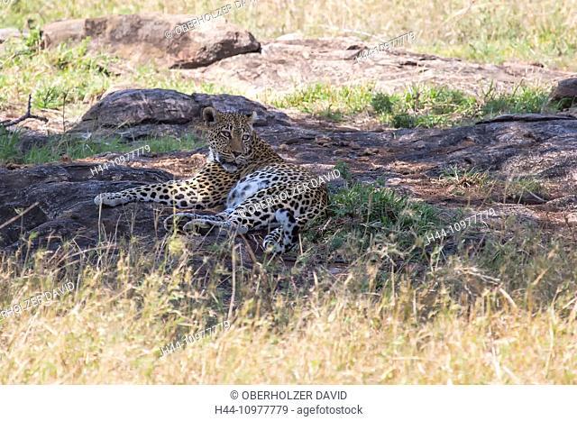 Africa, panthera pardus, travel, savanna, Serengeti, mammals, Tanzania, East Africa, animals, wilderness, wild animals