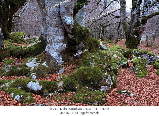 Beech in the natura park Urbasa y Andía. Navarra