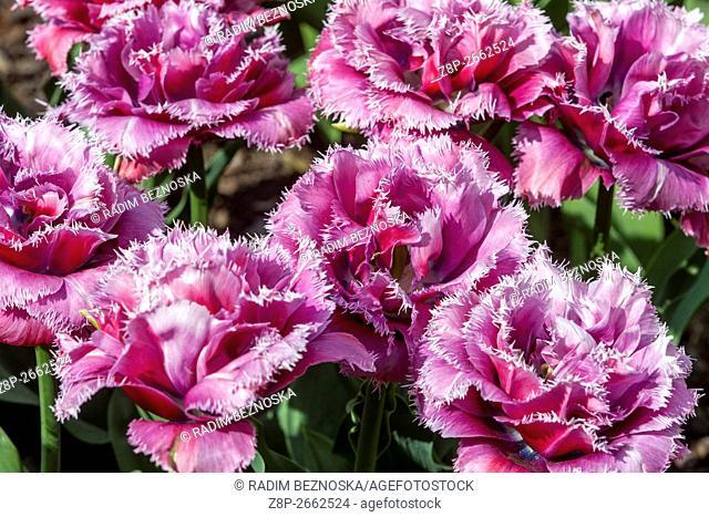 The beauty of blooming tulips, Tulipa crispa 'Matchpoint'