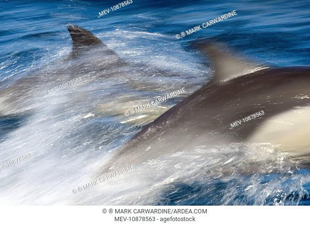 Long-beaked Common Dolphin - porpoising at speed (Delphinus capensis). Baja California - Sea of Cortez (Gulf of California) - Mexico
