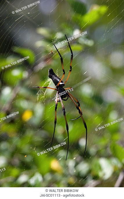 Seychelles, Praslin Island, Vallee de Mai National Park, Palm Spider, nephila inaurita