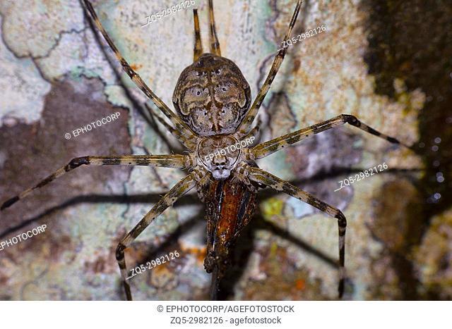 Two tailed spider, Hersilia savignyi with kill, Agumbe, Karnataka, India