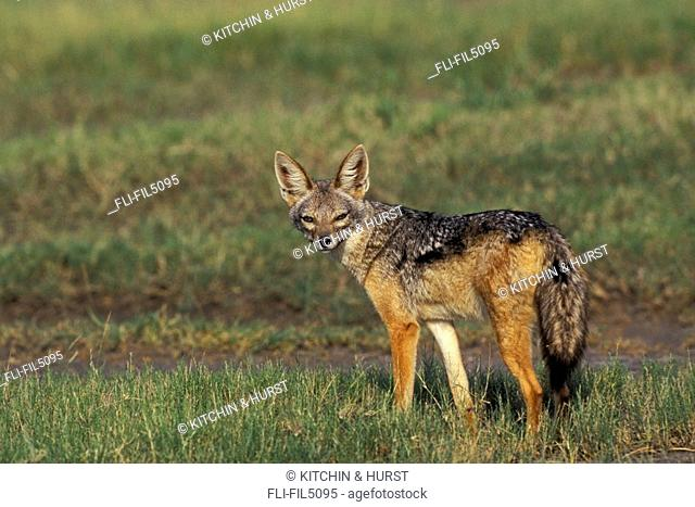 Black-Backed Jackal, Serengeti National Park, Tanzania, Africa