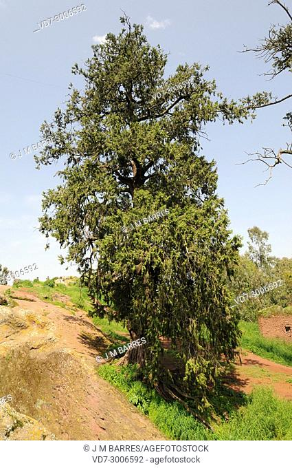African juniper or african pencil cedar (Juniperus procera) is a coniferous tree native to Africa and Arabia mountains. This photo was taken in Lalibela