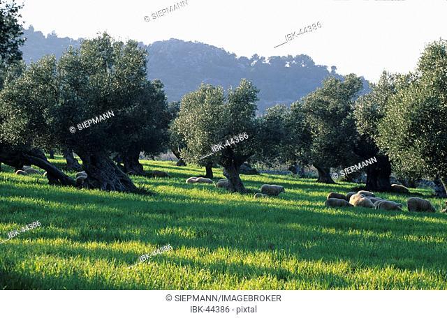Mallorca Serra de Tramuntana olive grove
