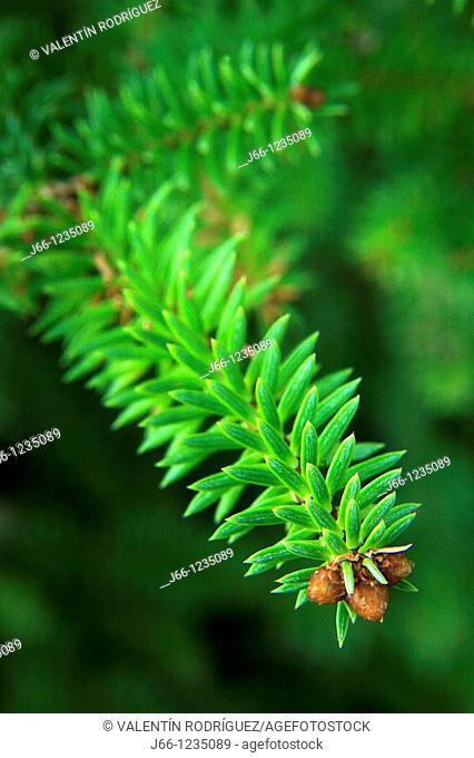 Pinsapo twig. Abies pinsapo. Sierra de Grazalema Natural Park. Cadiz