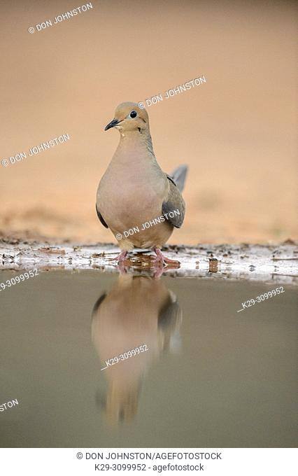 Mourning dove ( Zenaida macroura), Santa Clara Ranch, Starr County, Texas, USA
