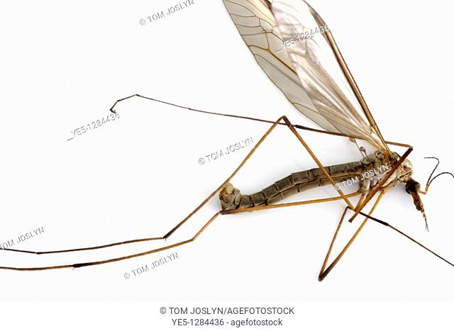 Dead Cranefly or Daddy long legs Tipula paludosa, England, UK