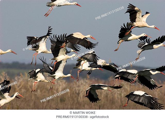 White stork, stork, Ciconia ciconia