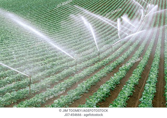 Irrigated strawberry field. Central California. USA