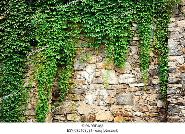 Wall covered with a beautiful green spring ivy