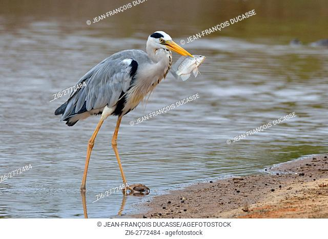 Grey heron (Ardea cinerea), with caught fish in its beak, Sunset Dam, Kruger National Park, Mpumalanga, South Africa, Africa
