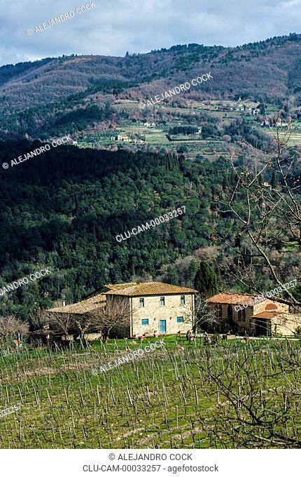 Vine Tuscany, Florence, Italy, Western Europe