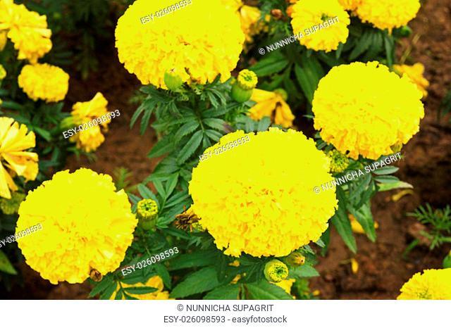 Marigolds (Tagetes erecta, Mexican marigold, Aztec marigold, African marigold)