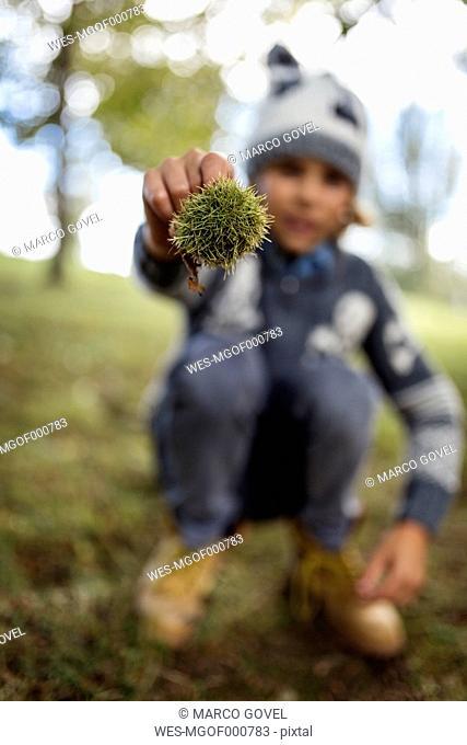 Boy's hand holding sweet chestnut
