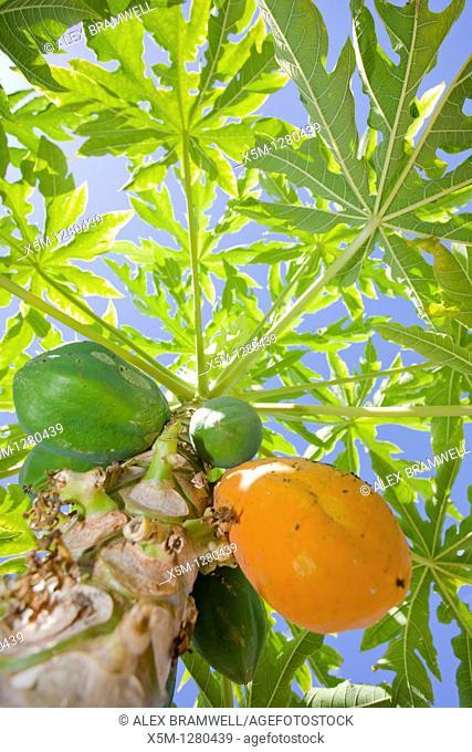 Carica papaya or papaya tree with ripe fruit
