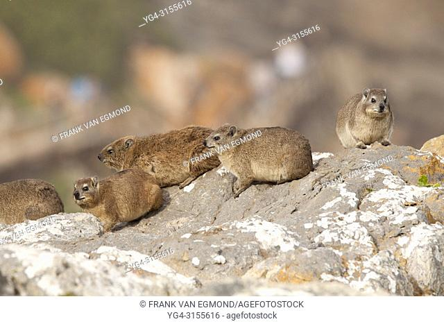 Rock Dassie, Robberg Nature Reserve, South Africa