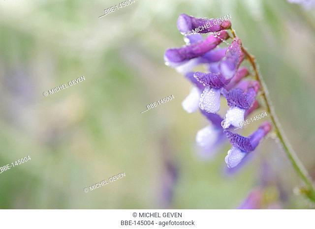Flowering Hairy Vetch