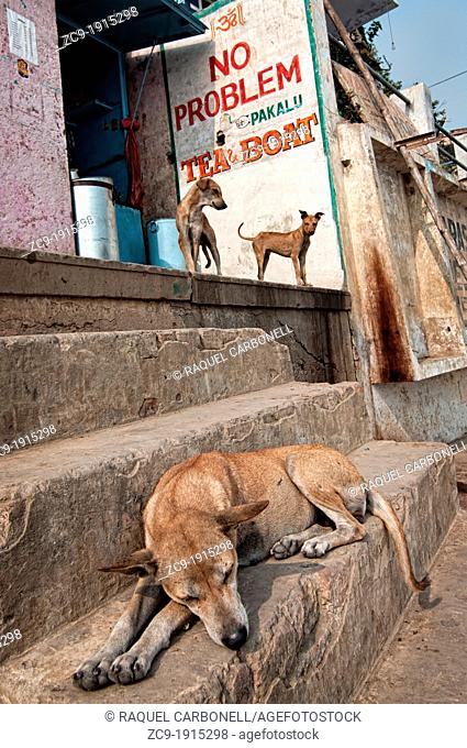 Dog and puppies at a tea shop on the ghats, Varanasi, Benares, Uttar Pradesh, India