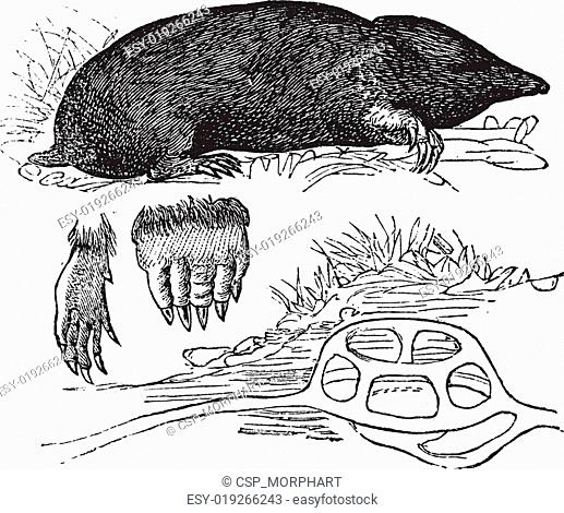Taupe in Europe (Talpa Europaea) or Northern Mole. a, foreleg, b, hind legs, c, nest, vintage engraving