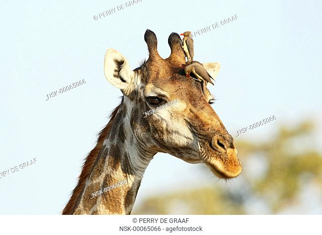 Portrait of a Giraffe (Giraffa camelopardalis) with Red-billed Oxpeckers (Buphagus erythrorhynchus), South Africa, Mpumalanga, Kruger National Park