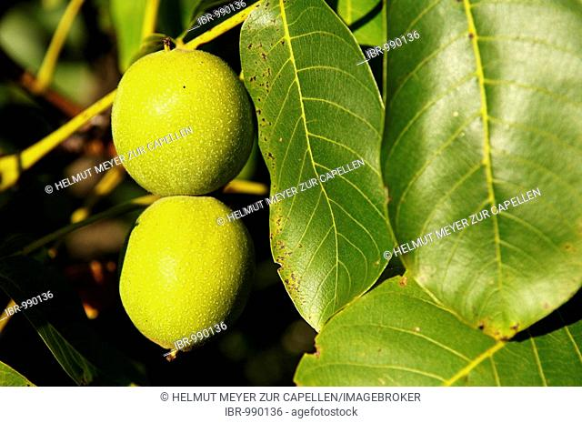 Walnuts (Juglans regia) on a tree, Eckental, Middle Franconia, Bavaria, Germany, Europe