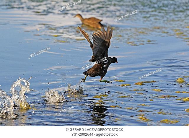 Common Moorhen or European Moorhen, gallinula chloropus, Immature in Flight, Taking off from Pond, Normandy