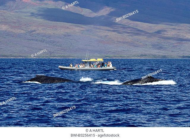 humpback whale Megaptera novaeangliae, Whale Watching, tourist boat beside twi whales, USA, Hawaii, Maui